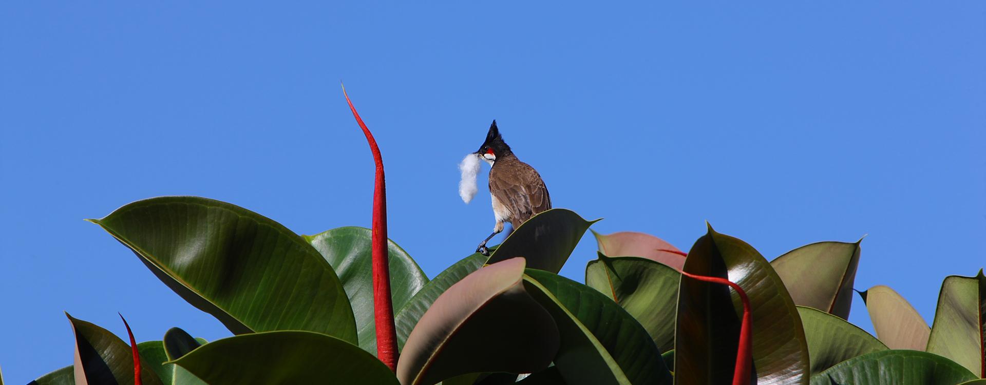L'oiseau du Victoria